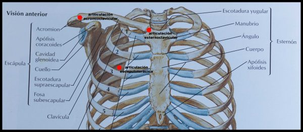 articulaciones esternoclavicular, acromioclavicular y escapulotorácica