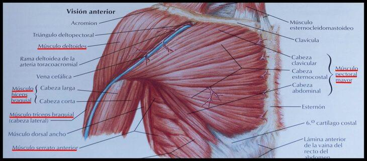 musculos-press-banca-torax
