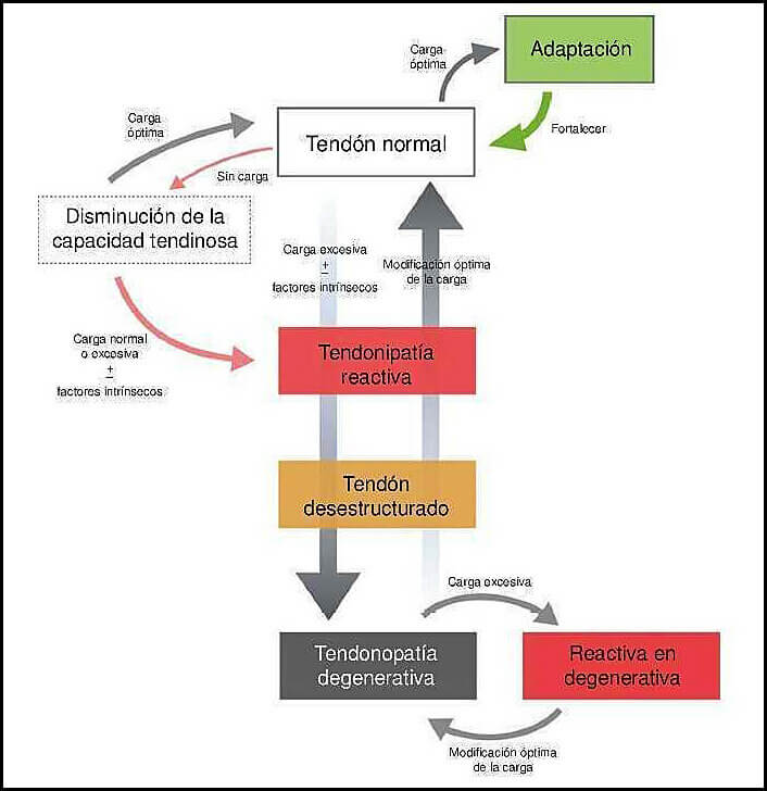 fases-de-la-tendinopatia