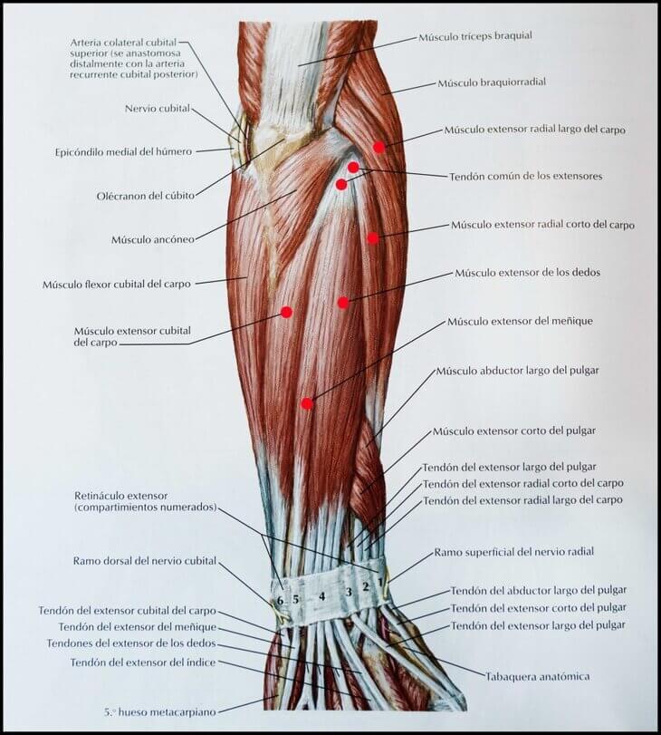 musculos-extensores-muñeca