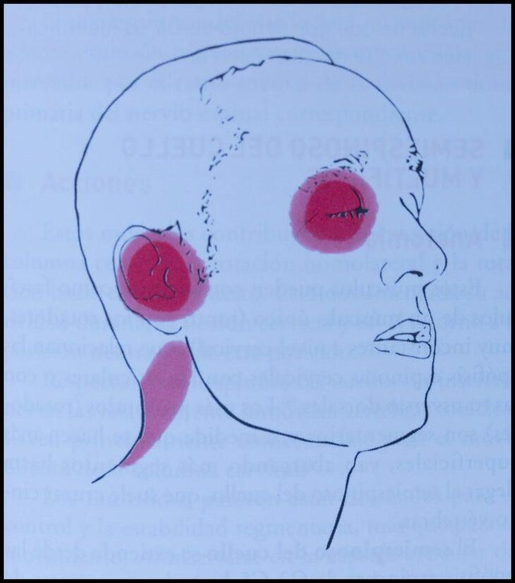 músculo-longisimo-de-la-cabeza